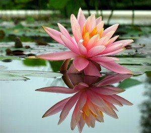 featurepics-Beautiful-Water-Lily-Pond--165547-1287454